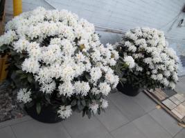 Foto 28 2 große schöne, gesunde, kräftige und dicht gewachsene Rhododendren Cunnighams White im 90 Liter Kübel in den Größen 115cm/130cm/130cm und 110cm/140cm/110cm