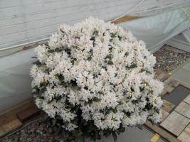 Foto 29 2 große schöne, gesunde, kräftige und dicht gewachsene Rhododendren Cunnighams White im 90 Liter Kübel in den Größen 115cm/130cm/130cm und 110cm/140cm/110cm