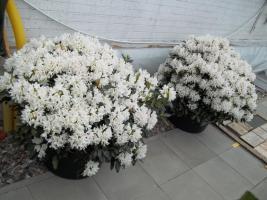 Foto 30 2 große schöne, gesunde, kräftige und dicht gewachsene Rhododendren Cunnighams White im 90 Liter Kübel in den Größen 115cm/130cm/130cm und 110cm/140cm/110cm