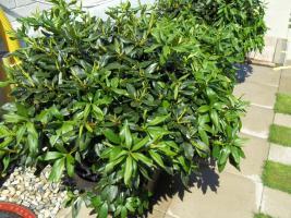 Foto 35 2 große schöne, gesunde, kräftige und dicht gewachsene Rhododendren Cunnighams White im 90 Liter Kübel in den Größen 115cm/130cm/130cm und 110cm/140cm/110cm