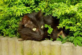 Foto 2 2 kastrierte Katzenbrüder (türkisch Angora) schweren Herzens abzugeben