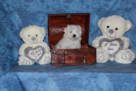 Foto 3 2 kleine Malteser suchen ein neues Kuschelnest