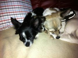 Foto 3 2 liebe Chihuahuamädchen suchen neuen Kuschelplatz (Tierschutz)!