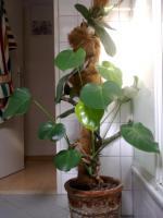 Foto 2 2 schöne, große Zimmerpflanzen