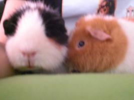 2 süße Meerschweinchenböckchen in liebevolle Hände abzugeben