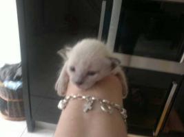 2 süße Siamkitten suchen ein Zuhause