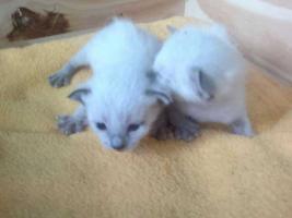 Foto 3 2 süße Siamkitten suchen ein Zuhause