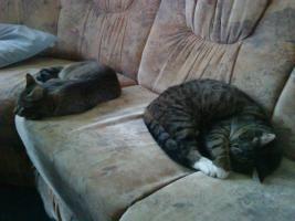 Foto 2 2 super süße Hauskatzen in liebevolle Hände abzugeben (zu verschenken)