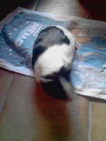 Foto 2 2 weibliche Meerschweinchen