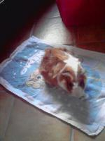 Foto 5 2 weibliche Meerschweinchen