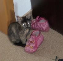 2 wunderschöne Schildpatt Kätzchen suchen ein neues Zuhause