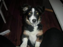 Foto 2 20 Wochen alten Border Collie-Welsh Corgie Mix