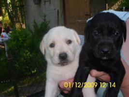 Foto 5 20 kleine süße Labrador Welpen