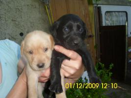 Foto 7 20 kleine süße Labrador Welpen