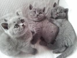 3 BKH Katzen zu VERKAUFEN SOFORT