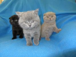 3 BKH Kitten