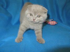 Foto 3 3 BKH Kitten