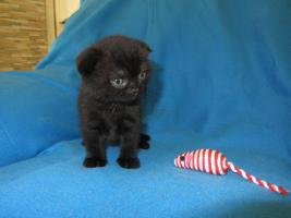 Foto 5 3 BKH Kitten