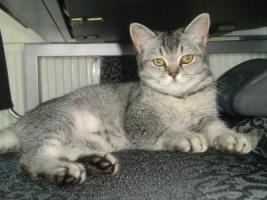 Foto 3 3 BKH Kitten Babys Black Silver tabby Mädchen