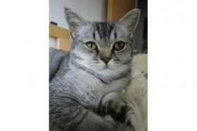Foto 5 3 BKH Kitten Babys Black Silver tabby Mädchen