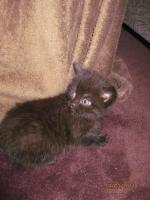3 BKH-Perser Kitten