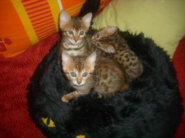 Foto 6 3 Bengalkitten