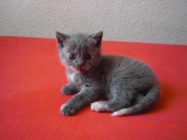 3 Britisch Kurzhaar Kitten