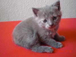 Foto 2 3 Britisch Kurzhaar Kitten