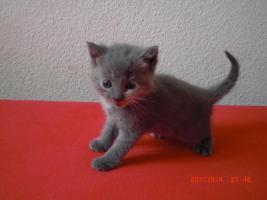 Foto 3 3 Britisch Kurzhaar Kitten