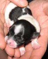 3 Langhaar Chihuahua Babys