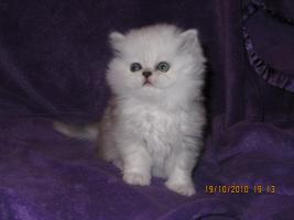 3 Perser Baby