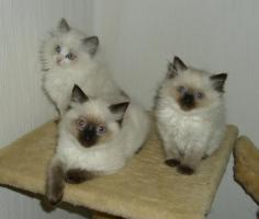 Foto 2 3 RAGDOLL-kitten