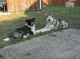 Foto 3 3 Süsse Shepherd/ Husky - Malamute/ Wolf Mix Welpen suchen ein zu Hause.