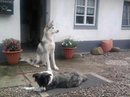 Foto 6 3 Süsse Shepherd/ Husky - Malamute/ Wolf Mix Welpen suchen ein zu Hause.