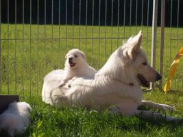 Foto 4 3 Weisse Schweizer Schäferhund Welpen
