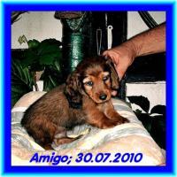 Foto 3 3 kleine Kuschelmonster (Zwerg-Langhaardackelwelpen) m. P. zu verkaufen