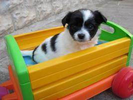 Foto 3 3 reinrassige Chihuahuaweplen Welpe aus Weimar