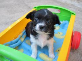 Foto 4 3 reinrassige Chihuahuaweplen Welpe aus Weimar