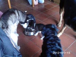 Foto 7 3 reinrassige siberian Husky Welpen....warten auf Euch!!!