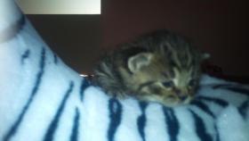 Foto 2 3 süße BKH-Kitten zu verkaufen