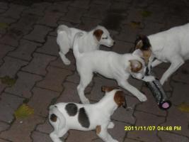 Foto 2 3 süße Jacky Welpen