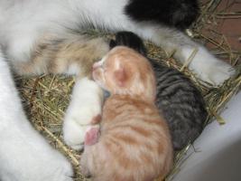 Foto 4 3 süße Katzenbabys in gute Hände abzugeben