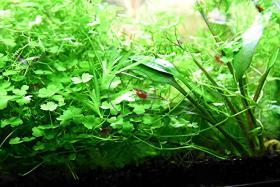 Foto 3 3-teiliger Wassernabel, Rarität, Aquariumpflanzen, Versand