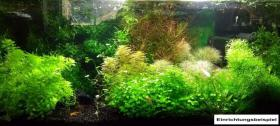 Foto 4 3-teiliger Wassernabel, Rarität, Aquariumpflanzen, Versand