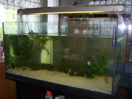 4 Axolotl mit voll eingerichtetem Aquarium unter Unterschrank