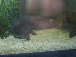 Foto 3 4 Axolotl mit voll eingerichtetem Aquarium unter Unterschrank