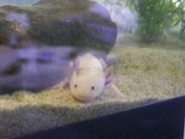 Foto 4 4 Axolotl mit voll eingerichtetem Aquarium unter Unterschrank