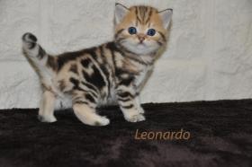Foto 2 4 BKH Kitten in black-golden-tabby-classic