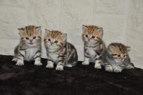 Foto 5 4 BKH Kitten in black-golden-tabby-classic