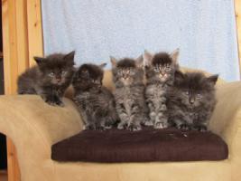 4 Blaue Maine Coon Kitten aus Ex. Veerpaarung ab 1. Oktober abzugeben